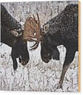 Moose Fighting, Gaspesie National Park Wood Print by Nicolas Bradette