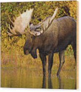 Moose In Glacial Kettle Pond  Wood Print