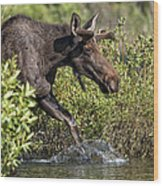 Moose Makes A Splash Wood Print by Paul W Sharpe Aka Wizard of Wonders