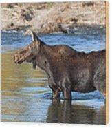 Moose On The  Gros Ventre River Wood Print