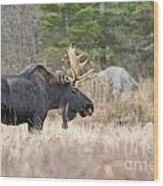Moose Pictures 75 Wood Print