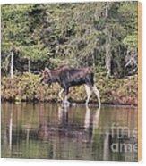 Moose_0587 Wood Print