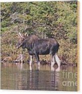 Moose_0591b Wood Print