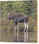 Moose_0596 Wood Print