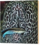 Moray Eel With Cleaner Wrasse Wood Print