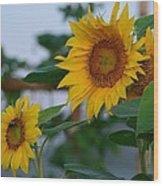 Morning Field Of Sunflowers Wood Print