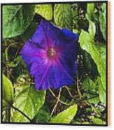 Morning Glory  Wood Print by Chasity Johnson