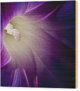 Morning Glory Purple Wood Print by Roger Snyder