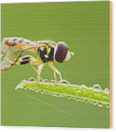 Morning Hoverfly Wood Print