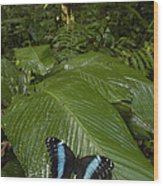 Morpho Butterfly In Rainforest Ecuador Wood Print
