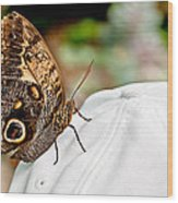 Morphos Butterfly On White Baseball Cap Art Prints Wood Print