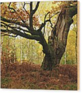 Moss Covered Ancient Hollow Oak Tree In Wood Print