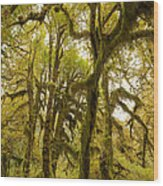 Moss-covered Maple Grove Wood Print