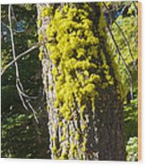 Moss On Tree Along Sentinel Dome Trail In Yosemite Np-ca Wood Print