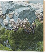 Mossy Barnacles Wood Print