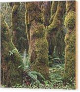 Mossy Big Leaf Maples In Hoh Rainforest Wood Print
