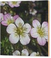 Mossy Saxifrage Flower Carpet Wood Print