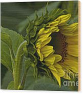 Mostly Open Sunflower Wood Print