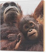 Mother And Baby Orangutan Borneo Wood Print