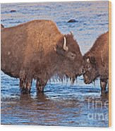 Mother And Calf Bison In The Lamar River In Yellowstone National Park Wood Print