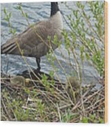 Mother And Child Canadian Geese Wood Print