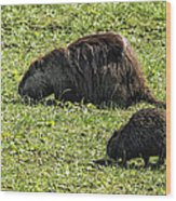 Mother And Child - Coypu - Nutria Wood Print