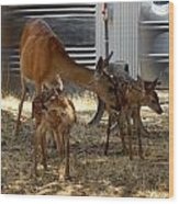 Mother And Two Fawn II Wood Print