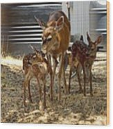 Mother And Two Fawn  Wood Print