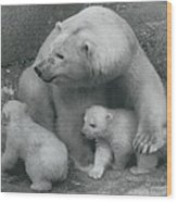 Mother Bear Shows Off Her Twin Babies. Tiyak And Tineak - Wood Print