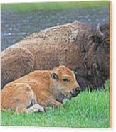 Mother Buffalo And Calf Yellowstone Wood Print