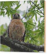 Mother Red Shouldered Hawk Wood Print
