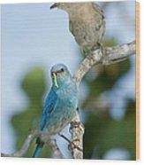 Mountain Bluebird Pair Wood Print