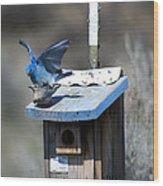 Mountain Bluebirds Mating Wood Print