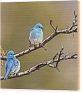 Mountain Bluebirds Wood Print
