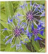 Mountain Bluet Flowers Wood Print