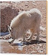 Mountain Goat Breaking Ice On Mount Evans Wood Print