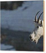 Mountain Goat Glacier National Park Wood Print
