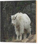 Mountain Goat Kid Wood Print
