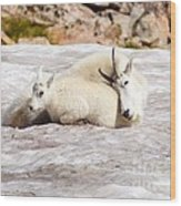 Mountain Goat Mother And Baby Wood Print