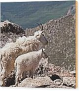 Mountain Goat Nanny And Kid Enloying The View On Mount Evans Wood Print