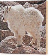 Mountain Goat On Mount Evans Wood Print