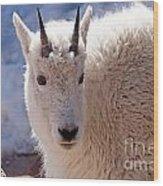 Mountain Goat Portrait On Mount Evans Wood Print