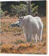 Mountain Goats Of Glacier Wood Print