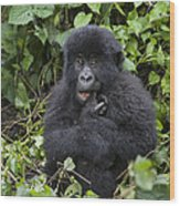Mountain Gorilla Baby Chewing On Finger Wood Print