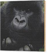 Mountain Gorilla Juvenile Portrait Wood Print