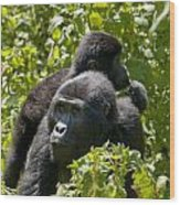 Mountain Gorilla With Infant  Wood Print