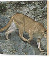 Mountain Lion Crossing Rocky Terrain Wood Print