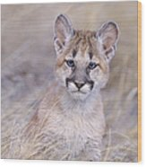 Mountain Lion Cub In Dry Grass Wood Print