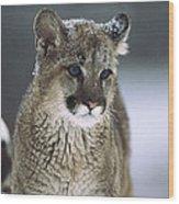 Mountain Lion Cub In Snow Montana Wood Print