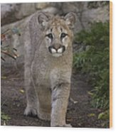 Mountain Lion Cub Walking Wood Print